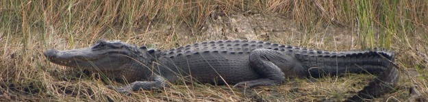 Alligator mississippiensis St. Marks National Wildlife Refuge 2004-10-16