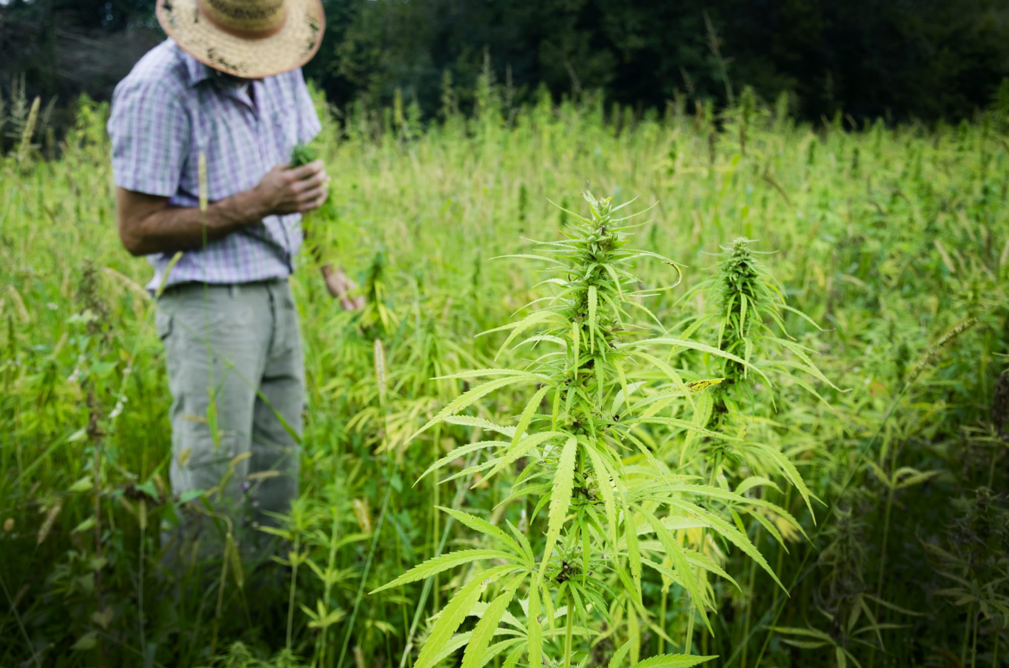 industrial hemp should be legalized in the united states For this reason, cbd products that are extracted from industrial hemp are 100% federally legal in the united states this is provided that the plant material or final product was imported rather than grown here, as domestic cultivation of industrial hemp is still legally questionable.