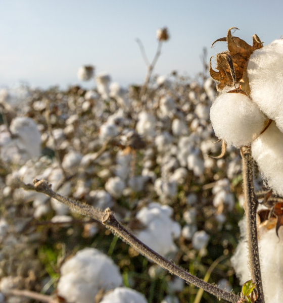 Sc Schools Face Cotton Picking Conundrum Fitsnews