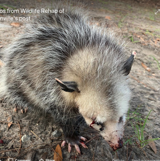 Hilton Head opossum