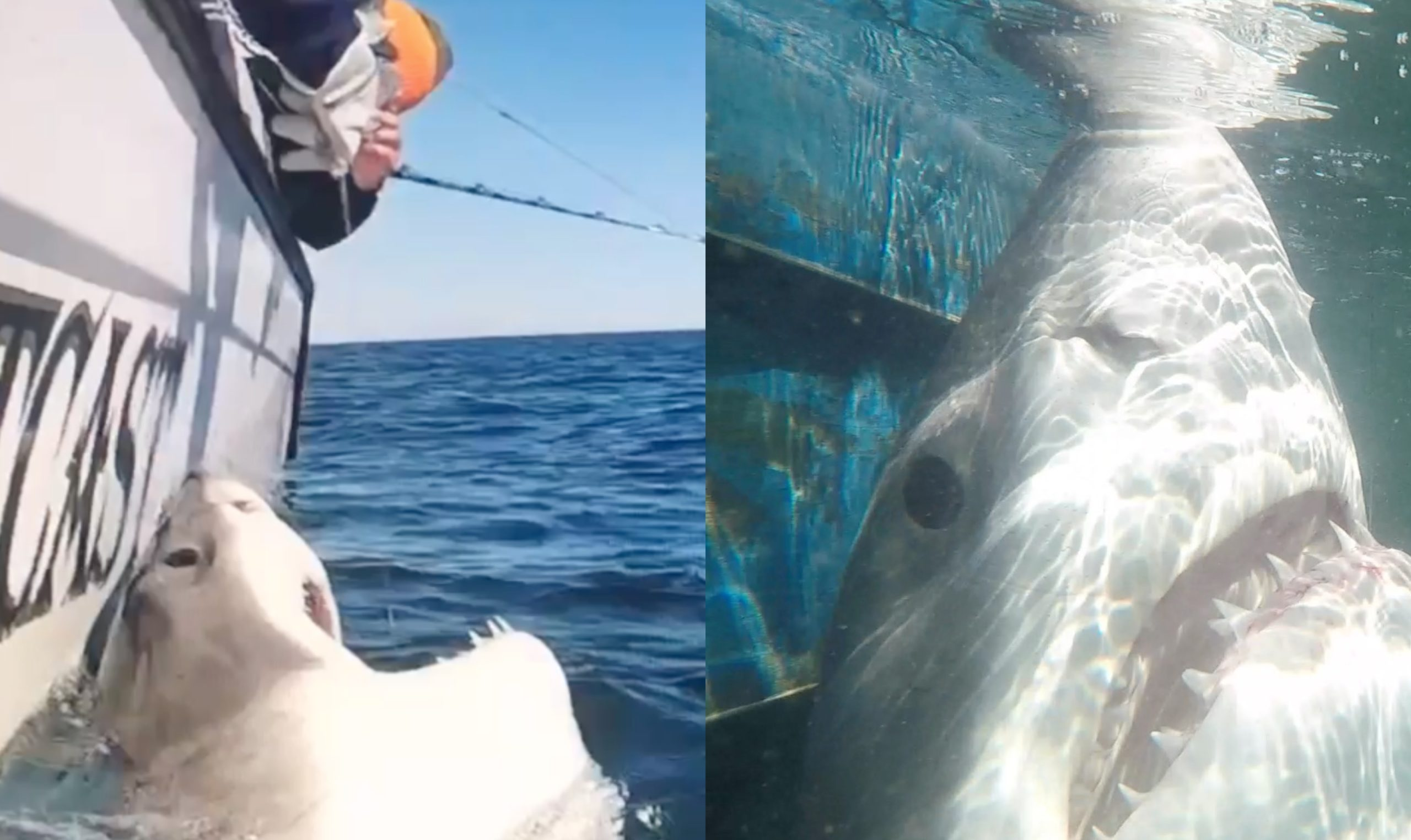 Hilton Head Great White Shark