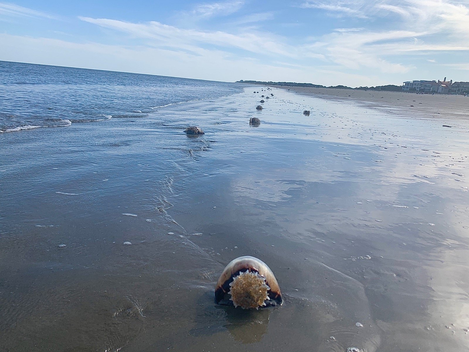Why Are There So Many Dead Jellyfish On South Carolina Beaches